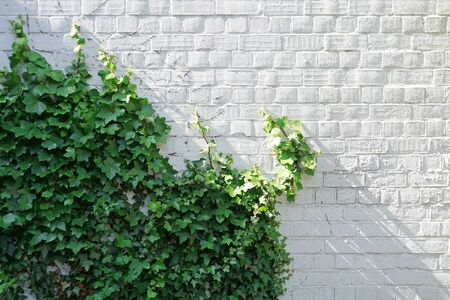 White brick wall overgrown with green ivy. Natural background with empty space.