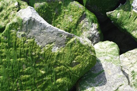 Stones close up, covered with green dry seaweeds. Natural texture.