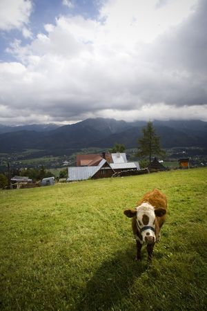 shot of cow on natural meadow in poland zakopane Stock Photo - 5736149