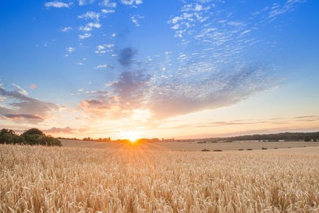 sunrise among a wheat fields in the summer uk Stock Photo - 21783523
