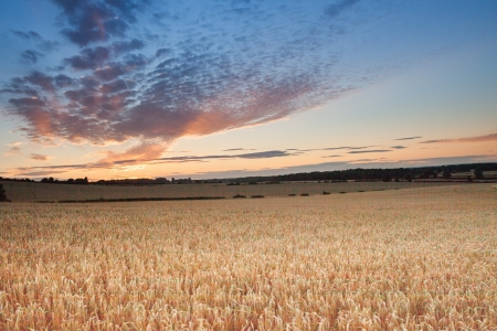 hampshire: sunrise among a wheat fields in the summer uk Stock Photo