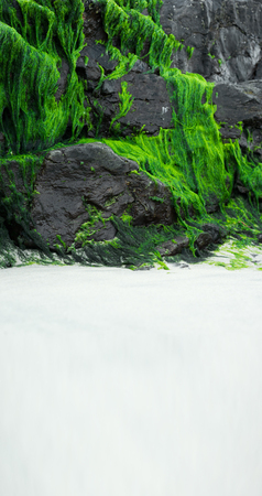 verdant: Verdant bright green seaweed growing on the rocks at the beach in the intertidal zone with copyspace on golden sand