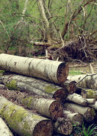 collected: Felled stacked tree trunks in woodland waiting to be collected for use in construction, carpentry or as heating fuel