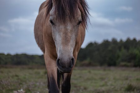 looking towards camera: Close up front view of brown horse in field walking towards and looking directly at camera