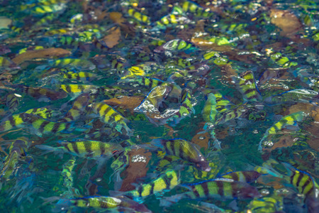 cichlids: Fish in the sea Phi Phi Island thailand , tropical ocean