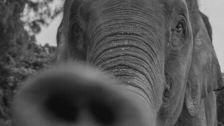 Black and white photo closeup of an elephant Stock Photo