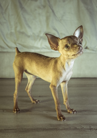 Closeup of cute miniature ginger pinscher puppy standing and looking up