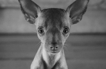Closeup head of cute miniature ginger pinscher puppy sitting and looking into the camera - black and white photo