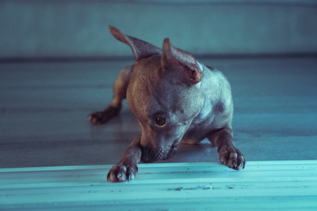 looking aside: Closeup of cute miniature ginger pinscher puppy looking aside while lying down on the wooden floor Stock Photo