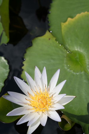 Closeup of white water lily Stock Photo