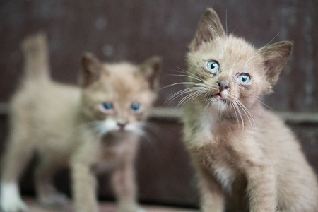 Portrait of two beautiful kittens with blue eyes standing outdoors and looking into the camera over dark wall background