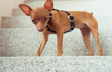 Closeup of cute miniature ginger pinscher puppy in leather fashion straps standing on the stone stairs Stock Photo
