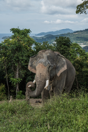 Beautiful elephant on the hill in Phuket, Thailand