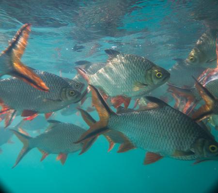 Nijl tilapia in vijver (Oreochromis niloticus) in Ratchaprapha Dam in Khao Sok National Park, Surat Thani Province, Thailand Stockfoto - 97446543