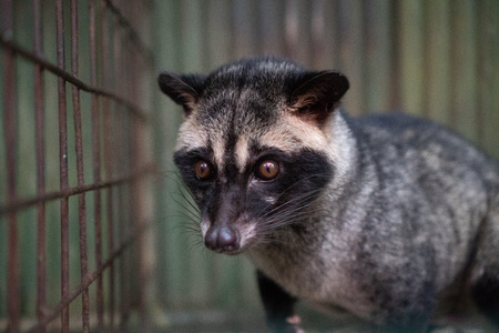 Asian palm civet kept in cage on the coffee plantation Stock Photo