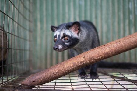 Asian palm civet kept in cage on the coffee plantation Reklamní fotografie
