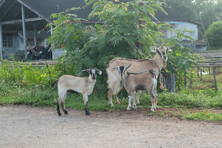 Funny goats looking into the camera at farm in Thailand