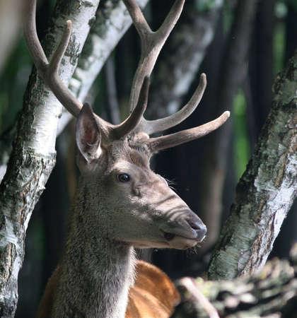 Portrait of Red Deer Stock Photo - 2418914