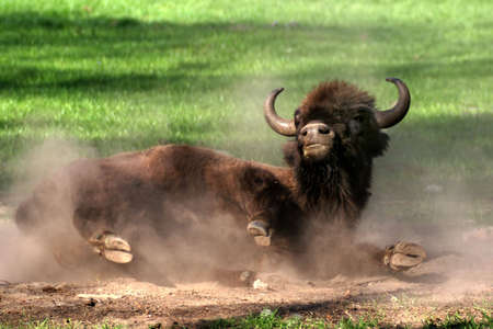 wallowing: Wallowing young bison on the green grass Stock Photo