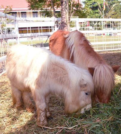 mini farm: mini dwarf horse