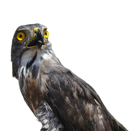 merlin falcon: Hawk portrait isolated on white background.