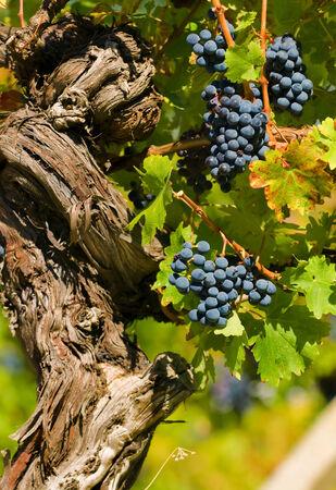 cabernet: Cabernet Sauvignon Uvas de vino rojo