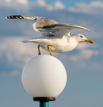 wingspread: Seagull on streetlight. start to fly. Stock Photo