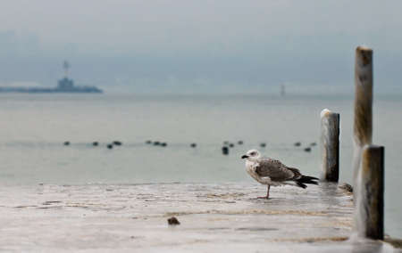 lonely seagull stands on a frozen wharf photo