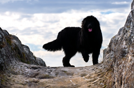 beautiful, black Newfoundland dog on a rock in backlight photo
