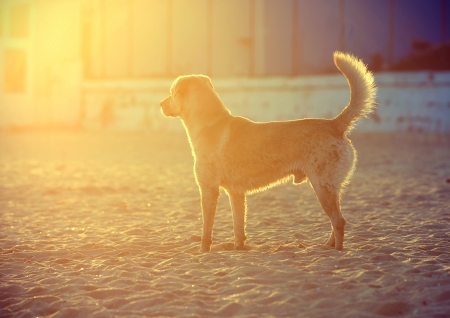 Happy Labrador Retriever playing at the beach.Sunset