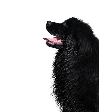 cane terranova: Bagnato, bel cane Terranova isolato su uno sfondo bianco.