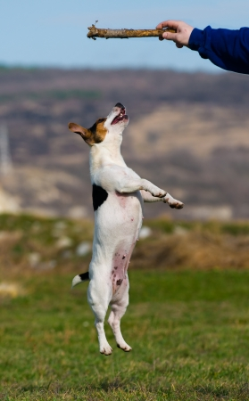 jack up: jack russell terrier jumping on a stick