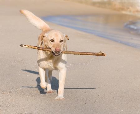 perro labrador: Hermoso perro Labrador Retriever jugando en la playa con un palo Foto de archivo