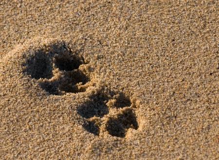 huellas de perro: huella de perro dos patas en la arena