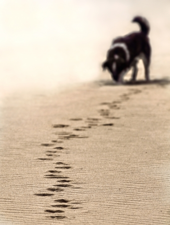 dog tracking footstep on the sand at the beach. shallow dof