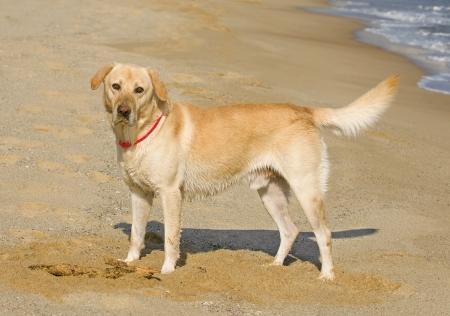 puta: Labrador Retriever jugando en la playa Foto de archivo