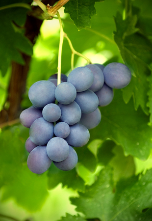 red wine grapes, close-up