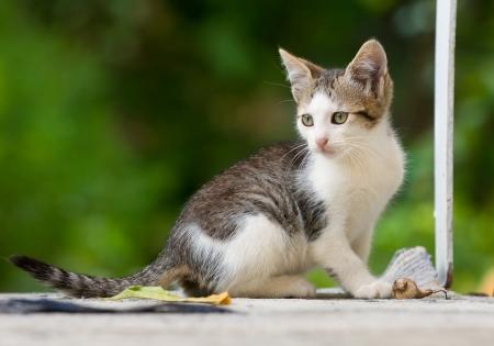 sweet little female kitten playing
