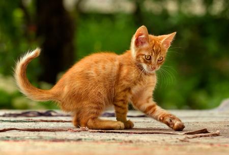 cute little male orange kitten playing Standard-Bild
