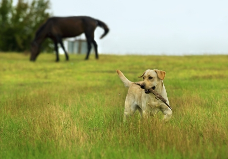 Beautiful Labrador retriever playing with stick on green meadow