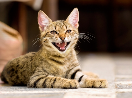 cute pet kitten yawning