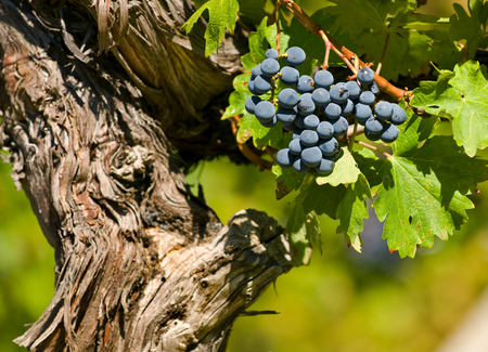 cabernet sauvignon: Cabernet Sauvignon Red Wine Grapes