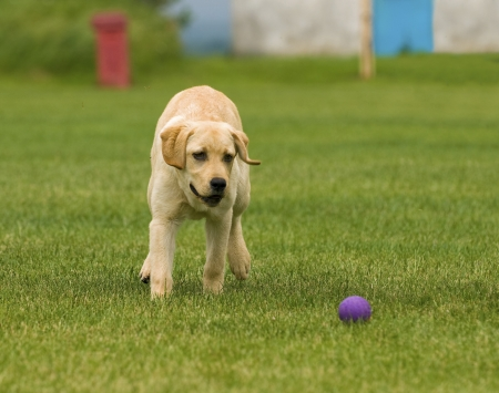 beautiful labrador retriever playing with a ball on green meadow