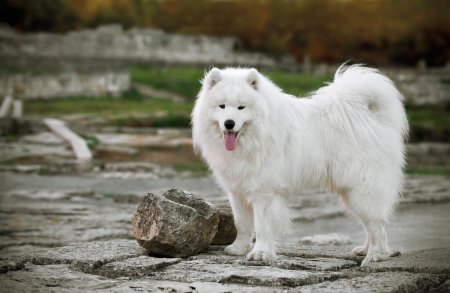 beautiful Samoyed in the  old town