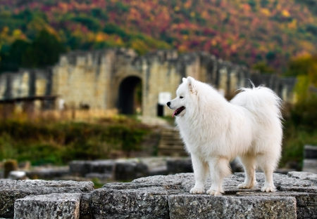 adorable Samoyed in the  old town