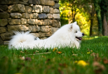 beautiful Samoyed lying in the woods Stock fotó