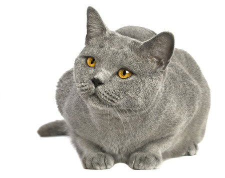 Portrait of adorable blue British Shorthair cat on a white background.