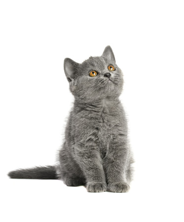 adorable British blue shorthair kitten on a white background.