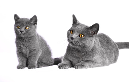 father and his kitten on a white background. British Blue Shorthair cat Standard-Bild