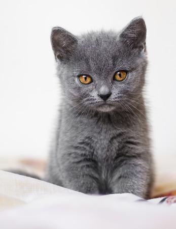 adorable British blue shorthair kitten